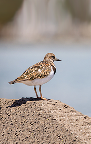 TurnStone Bird standing alone